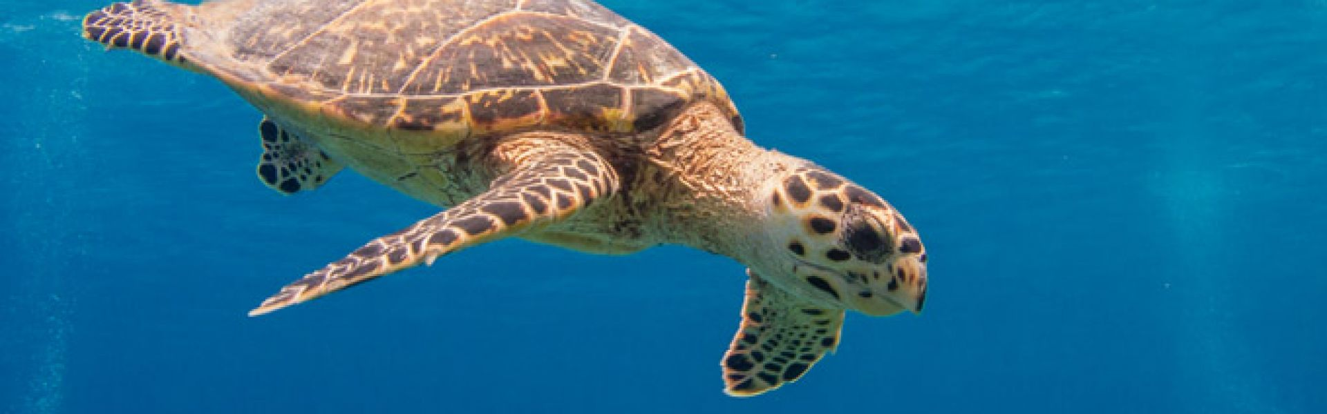 Grand CaymanGrand Cayman Turtle
